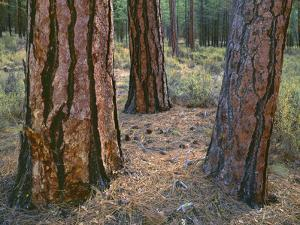 USA, Oregon, Deschutes National Forest. Trunks of mature ponderosa pine in autumn, Metolius Valley. by John Barger