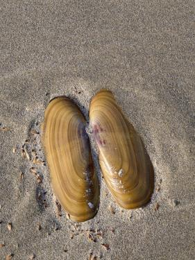 USA, Oregon, Oswald West State Park, Mussel shell and beach sand. by John Barger