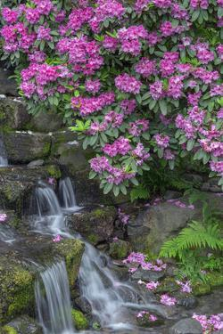 USA, Oregon, Portland, Rhododendron blooms alongside waterfall and ferns. by John Barger