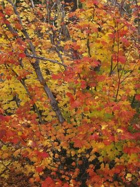 USA, Oregon, Willamette National Forest. Fall colored vine maple, Upper McKenzie River Valley. by John Barger