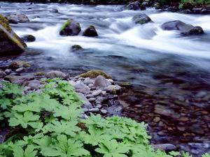 USA, Oregon, Willamette National Forest. South Fork of the McKenzie River with coltsfoot in spring. by John Barger