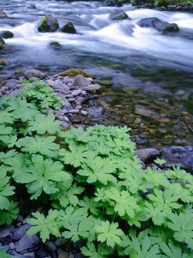USA, Oregon. Willamette National Forest, South Fork of the McKenzie River with coltsfoot in spring. by John Barger