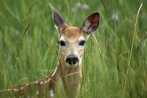 White-Tailed Deer Fawn in Tall Grass, National Bison Range, Montana, Usa by John Barger