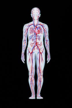 Artwork of Human Blood Circulation by John Bavosi