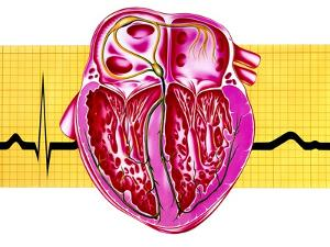 Artwork of Sectioned Heart with Healthy ECG Trace by John Bavosi