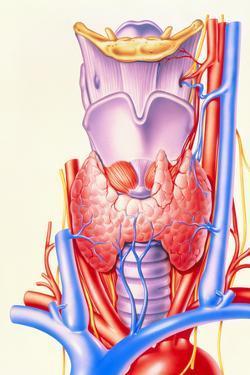 Artwork Showing the Thyroid Gland by John Bavosi