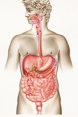 Digestive System by John Bavosi