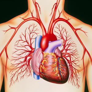 Human Heart, Artwork by John Bavosi