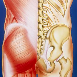 Illustration of Muscles of the Back with Bones by John Bavosi
