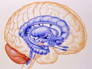 Illustration of the Limbic System of the Brain by John Bavosi