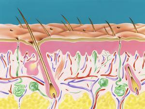 Skin Section by John Bavosi