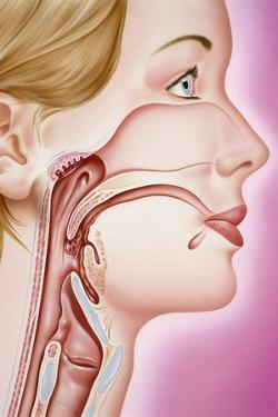 Upper Respiratory Tract, Artwork by John Bavosi