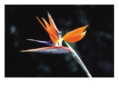 Bird of Paradise by John Bortniak