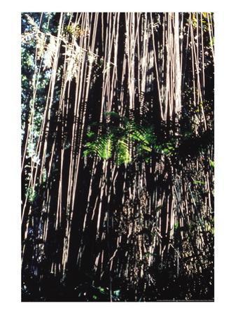 Jungle Vines by John Bortniak
