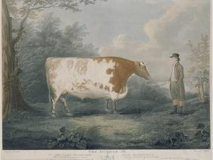 The Durham Ox, Engraved by J. Wessel, 1802 by John Boultbee