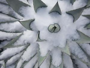 Agave Plant in the Snow by John Burcham