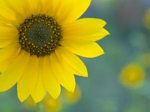 Close-Up of a Sunflower, Flagstaff, Arizona by John Burcham