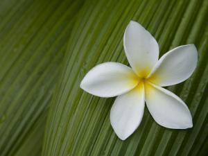 Plumeria Flower Used in Making Leis by John Burcham