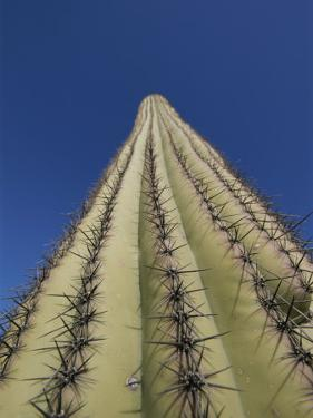 Skyward View of a Saguaro Cactus by John Burcham