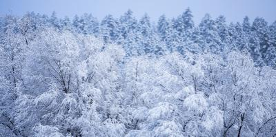 Snow Covered Frozen Trees in Flagstaff, Arizona