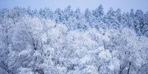 Snow Covered Frozen Trees in Flagstaff, Arizona by John Burcham