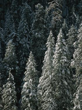 Snow Covers a Forest of Evergreen Trees in Flagstaff, Arizona by John Burcham