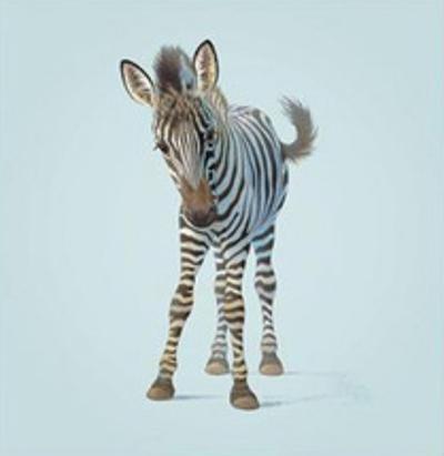 Zebra by John Butler Art