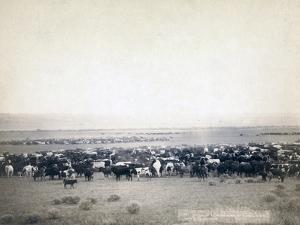 Skinning beef, 1891 by John C. H. Grabill