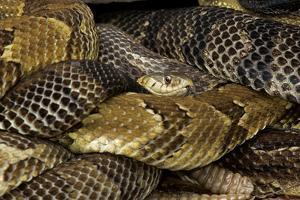 A Common Garter Snake Among Basking Gravid Timber Rattlesnakes, Crotalus Horridus Horridus by John Cancalosi