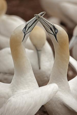 A Pair of Northern Gannets, Sula Bassanus, Courting
