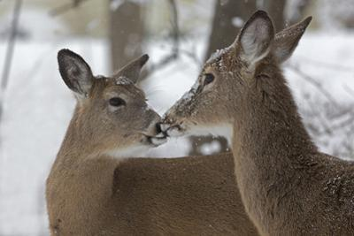 A Pair of White-Tailed Deer, Odocoileus Virginianus, Interacting in the Snow