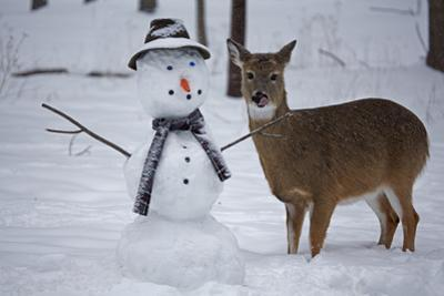 A White-Tailed Deer, Odocoileus Virginianus, Standing Next to a Snowman