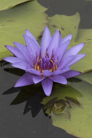 American Bullfrog (Lithobates Catesbeianus) Next to Water Lily Flower, Washington Dc, USA, July