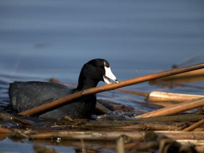 American Coot, Fulica Americana, with Material to Construct a Nest by John Cancalosi