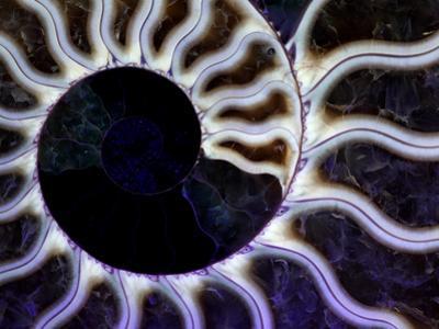 Ammonite Fossil, Cleoniceras Species, under Ultraviolet Light by John Cancalosi