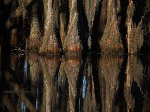 Bald Cypress Trees, Taxodium Distichum, and Reflection in Swamp Water by John Cancalosi