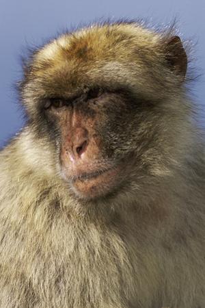 Barbary Ape Portrait (Macaca Sylvanus) Gibraltar by John Cancalosi