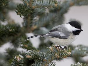 Black-Capped Chickadee, Poecile Atricapilla, in a Snow-Dusted Tree by John Cancalosi