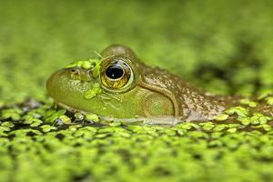 Close Up of a Bullfrog, Rana Catesbeiana, in Duckweed Covered Water by John Cancalosi