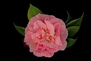Close Up of a Pink Debutante Camellia Flower, Camellia Japonica by John Cancalosi