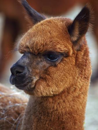Close Up of an Alpaca, Lama Pacos by John Cancalosi