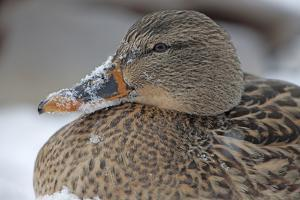 Close Up Portrait of a Female Mallard Duck, Anas Platyrhynchos, in the Snow by John Cancalosi