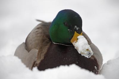 Close Up Portrait of a Male Mallard Duck, Anas Platyrhynchos, in the Snow by John Cancalosi