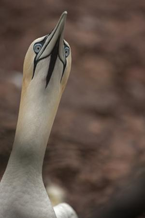 Close Up Portrait of a Northern Gannet, Sula Bassanus, in a Courtship Posture