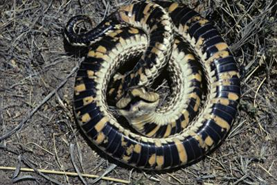 Coiled Western Hognose Snake, Heterodon Nasicus, Feigning Death, Gray Ranch, New Mexico, USA