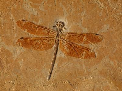 Fossil Dragonfly, Cordulagomphus Fenestratus, Lower Cretaceous by John Cancalosi