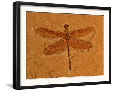 Fossil Insect, Dragonfly, Early Cretaceous, Brazil by John Cancalosi