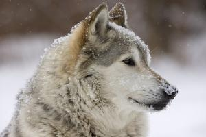 Grey Wolf (Canis lupus) head portrait of male, lying in snow, Captive by John Cancalosi