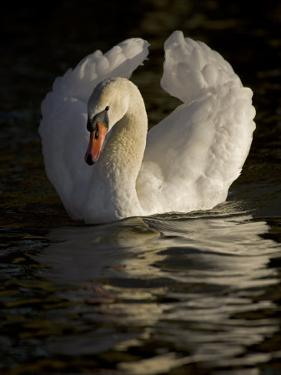 Mute Swan, Cygnus Olor, in Aggressive Posture Called Busking by John Cancalosi