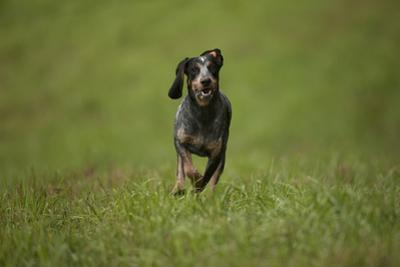 Portrait of a Blue Tick Hound, a Hunting Dog, Running by John Cancalosi